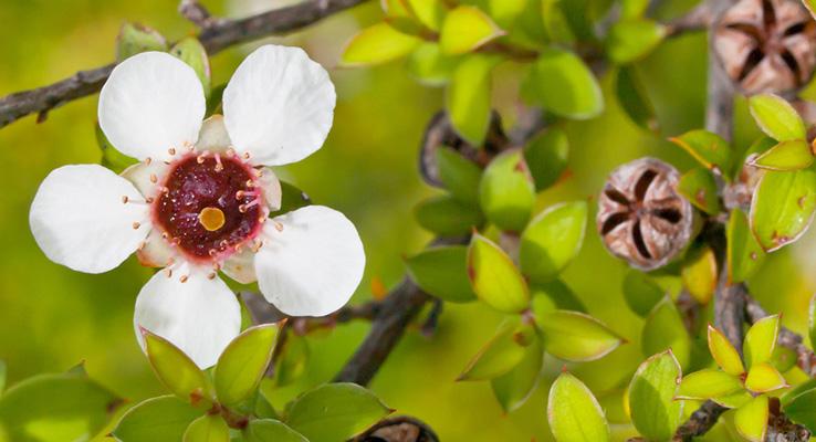 ニュージーランドにのみ自生する固有種「マヌカ」